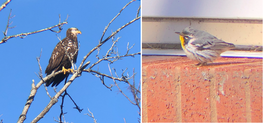 A magestic Bald Eagle and a fluffy Yellow-Throated Warbler