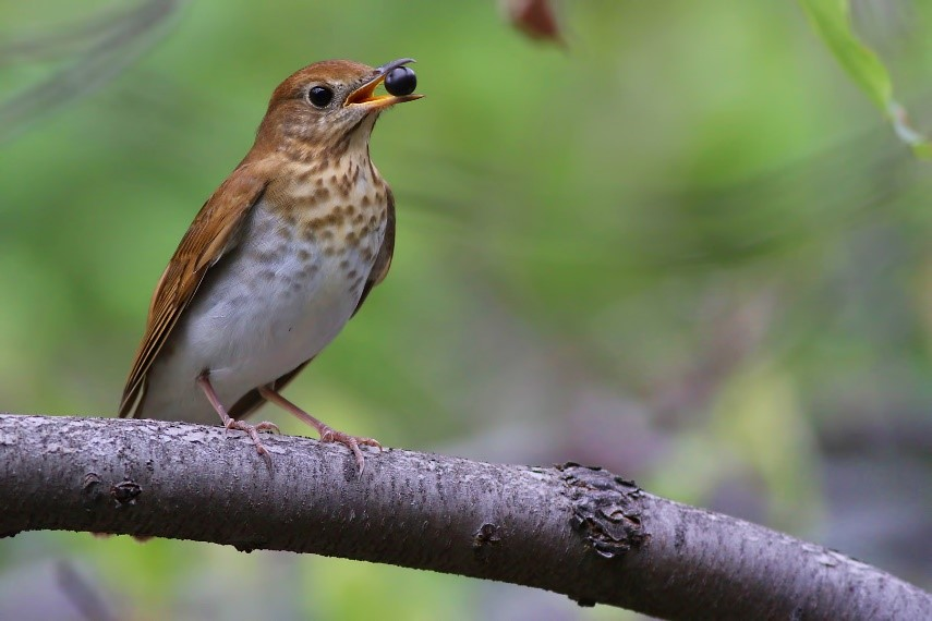 A Veery, proudly displaying a berry in his beak.