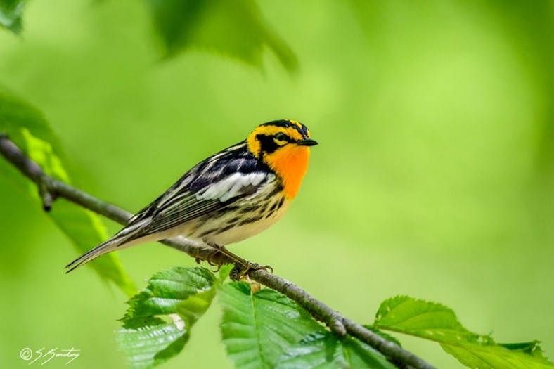 A Blackburnian Warbler with yellow and black tiger stripes on his head.